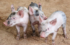 No Reports of Pig-Killing Virus in Franklin County