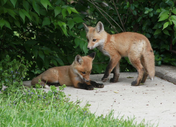 025 Fox Family on Front and Walnut.jpg