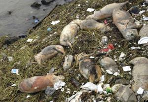 China Dead Pigs