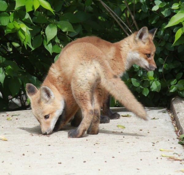 034 Fox Family on Front and Walnut.jpg