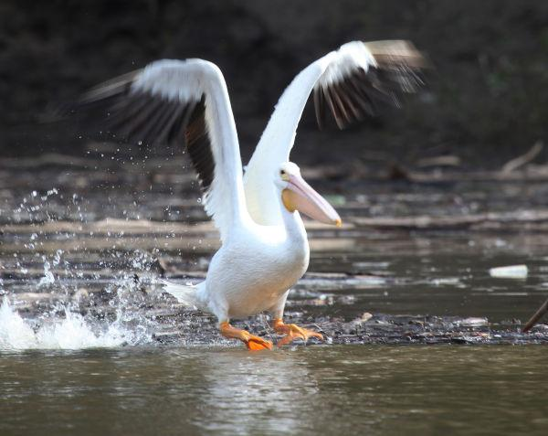 024 Pelicans on Missouri River.jpg