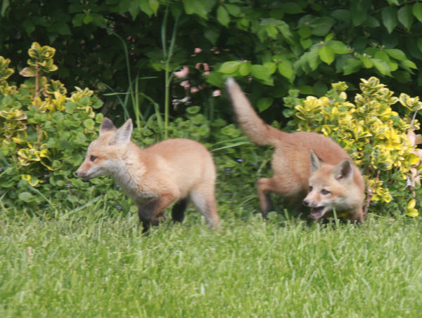 010 Fox Family on Front and Walnut.jpg