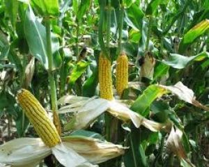 Corn Growers Make Up for Lost Time