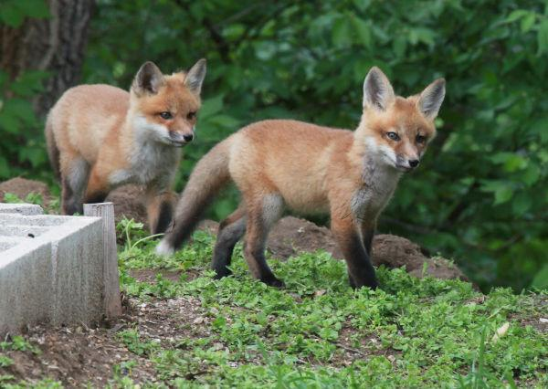 038 Fox Family on Front and Walnut.jpg