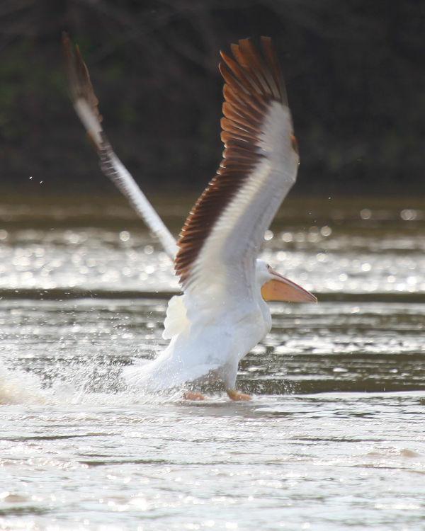 010 Pelicans on Missouri River.jpg