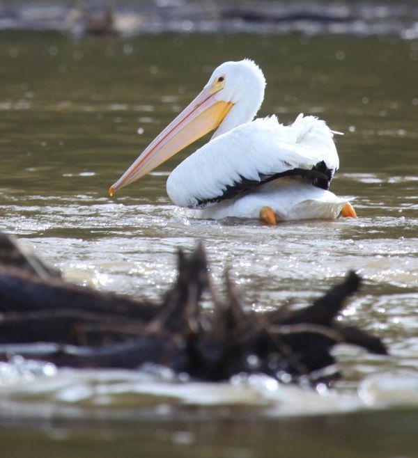 018 Pelicans on Missouri River.jpg