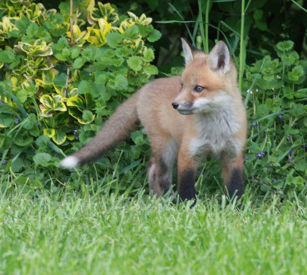 042 Fox Family on Front and Walnut.jpg
