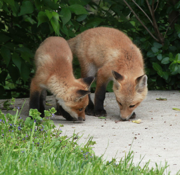 028 Fox Family on Front and Walnut.jpg