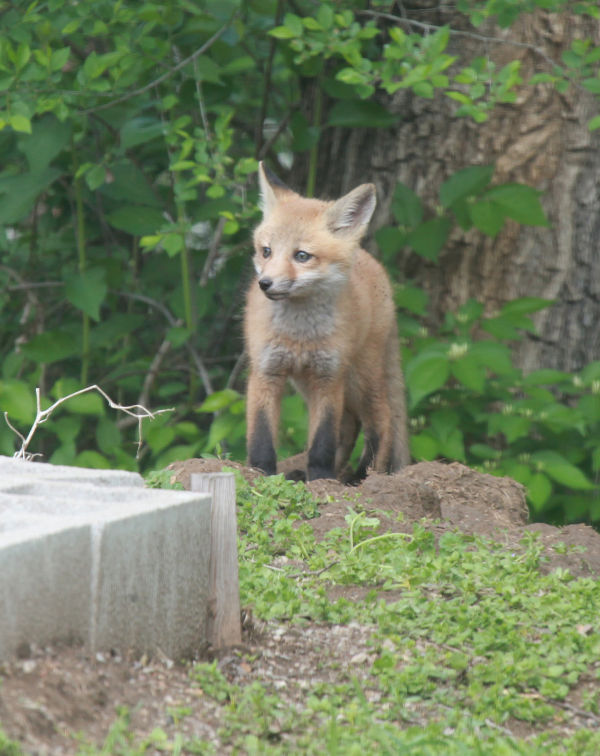 005 Fox Family on Front and Walnut.jpg
