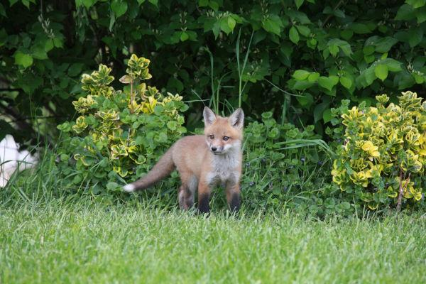 043 Fox Family on Front and Walnut.jpg