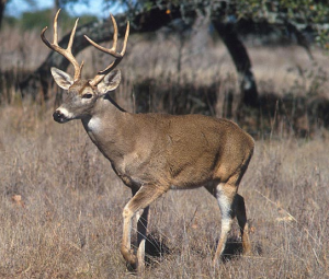 Diverse Factors Reduce Nov Deer Harvest, Weather Probably Least Important.