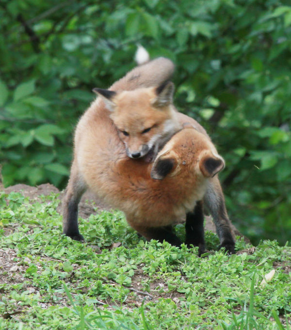 039 Fox Family on Front and Walnut.jpg