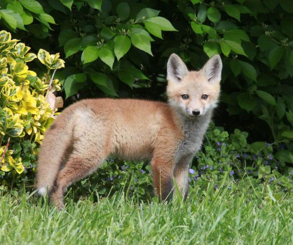 023 Fox Family on Front and Walnut.jpg