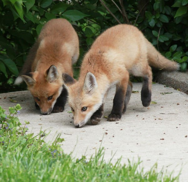 027 Fox Family on Front and Walnut.jpg