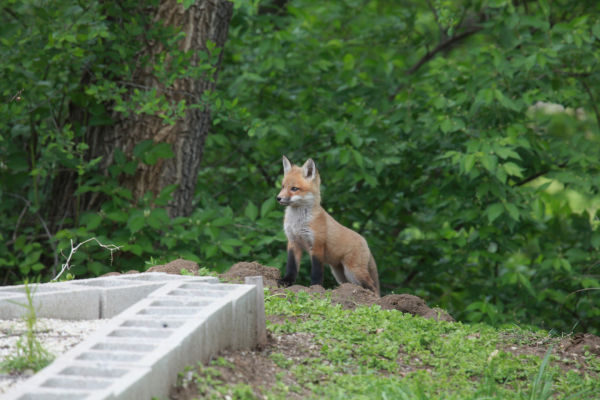 045 Fox Family on Front and Walnut.jpg
