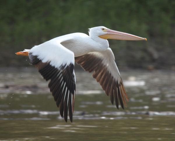 025 Pelicans on Missouri River.jpg