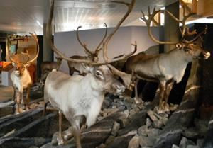 Reindeer Exhibit