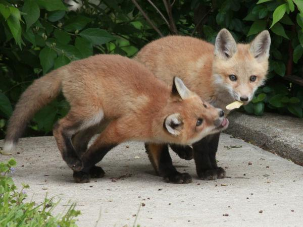 029 Fox Family on Front and Walnut.jpg
