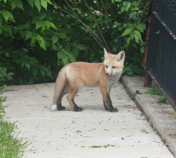 002 Fox Family on Front and Walnut.jpg