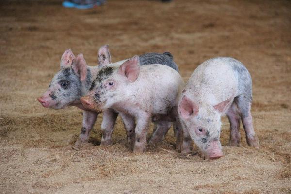 001 Pig Chase 2013.jpg