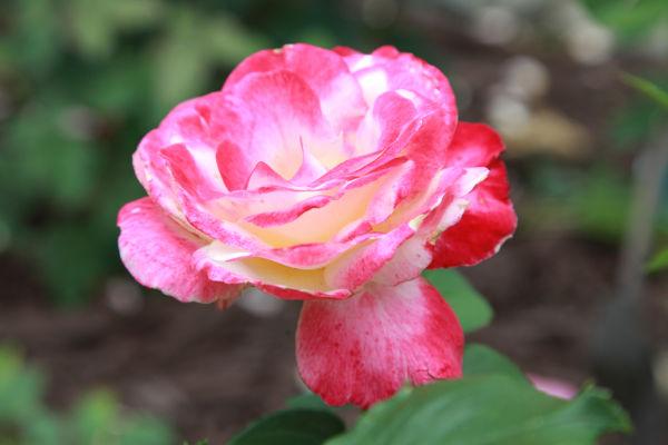 008 Early Summer Blooms 2014.jpg