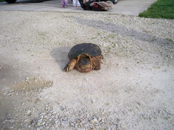 Briggs Turtle 6.JPG