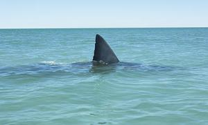 Man Wrestles Shark, Loses Job