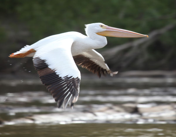 026 Pelicans on Missouri River.jpg