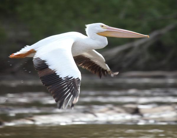 026 Pelicans on Missouri River.jpg