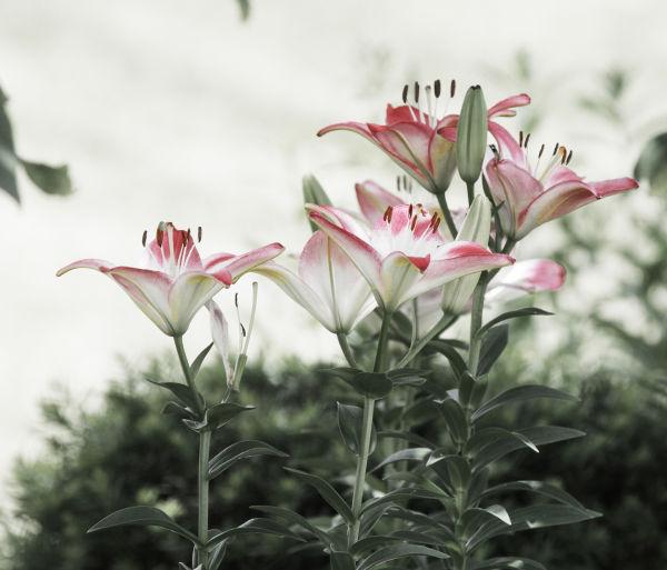 016 Early Summer Blooms 2014.jpg