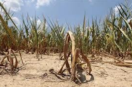 Corn crops drying up