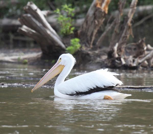 021 Pelicans on Missouri River.jpg