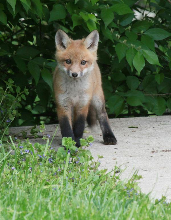 017 Fox Family on Front and Walnut.jpg
