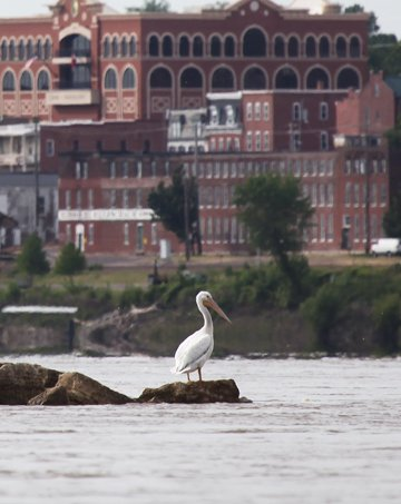 Pelican on the River
