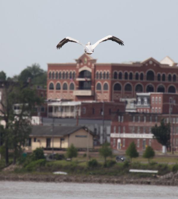 028 Pelicans on Missouri River.jpg