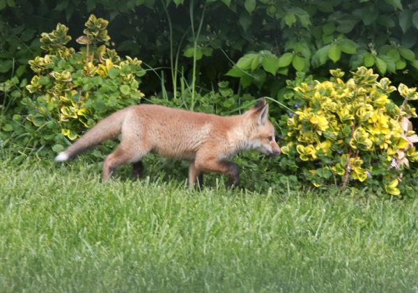 001 Fox Family on Front and Walnut.jpg