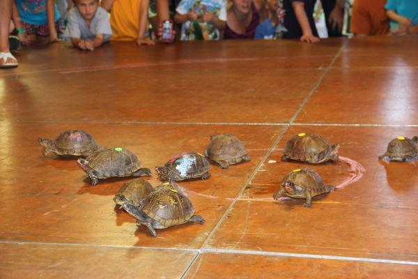 003 Turtle race 2013.jpg