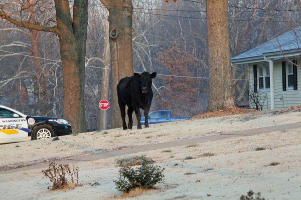Steer 25.jpg