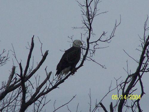 Bald Eagle on Orchard Rd.