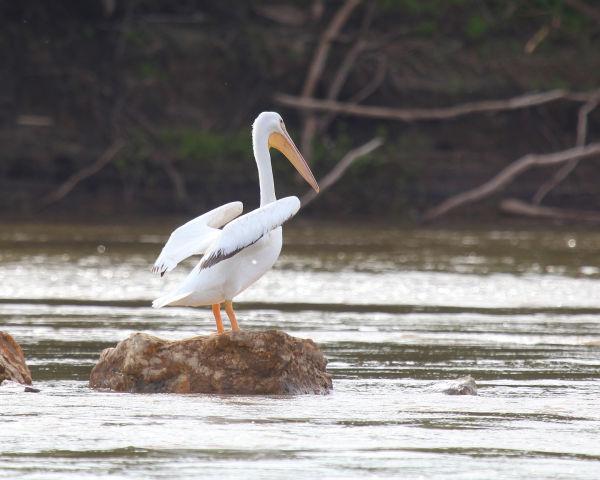 009 Pelicans on Missouri River.jpg