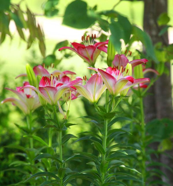 017 Early Summer Blooms 2014.jpg