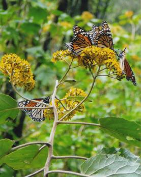 Monarchs Hibernate in Mexico