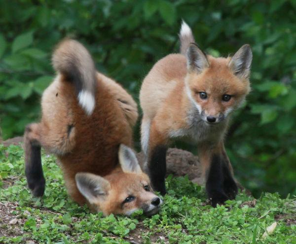 040 Fox Family on Front and Walnut.jpg