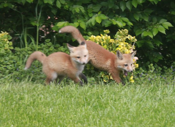 009 Fox Family on Front and Walnut.jpg