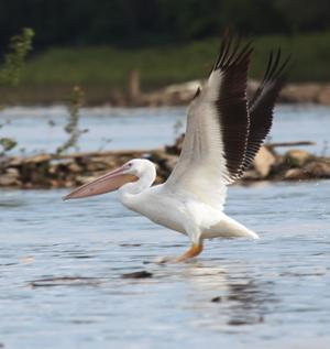 Riverfront Pelican