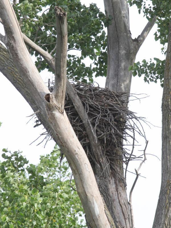 005 Pelicans on Missouri River.jpg