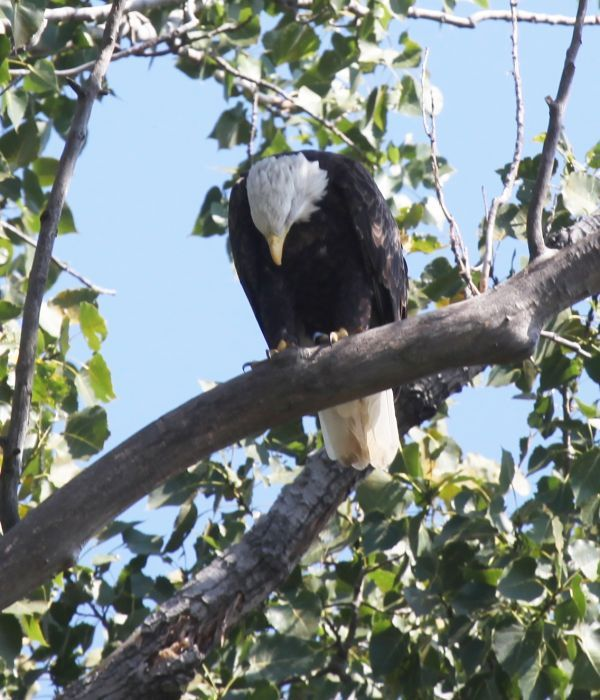 Eagle Looks Down