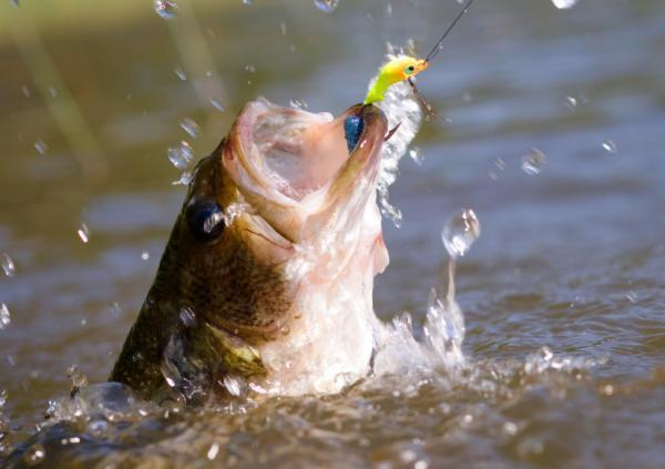 Lage Mouth Bass