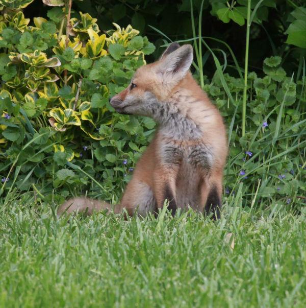 015 Fox Family on Front and Walnut.jpg