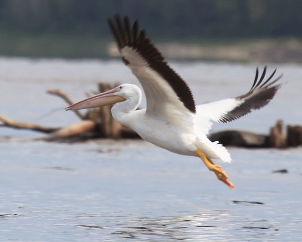015 Pelicans on Missouri River.jpg
